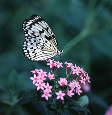 Example of what looks like an Albino Monarch Butterfly on a verbena flower